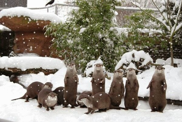 Snowy otters