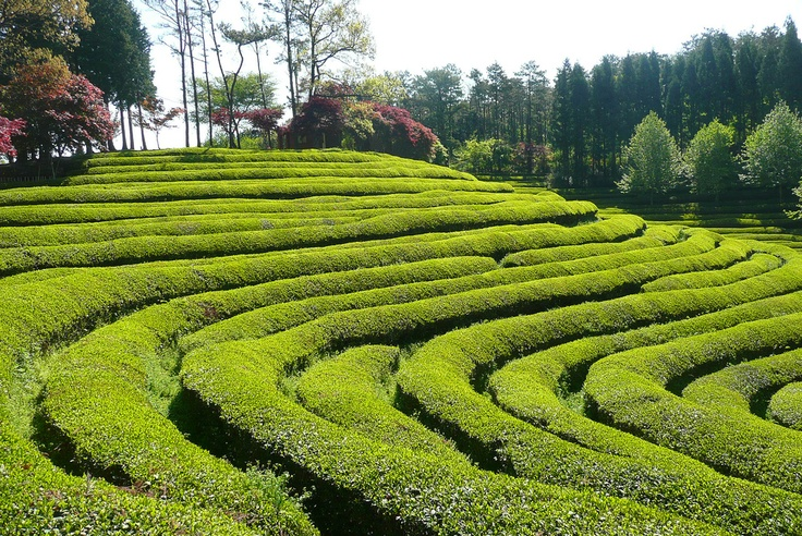 Boseong tea farm, South Jeolla Province
