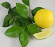 Genoa Lemon:  Introduced into California from Genoa Italy in 1875, this variety has similar characteristics to Eureka. In regions of Chile and Argentina where it is grown commercially it is appreciated for its vigorous growth, cold resistance and lush, dense foliage.