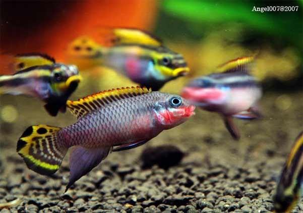 Pelvicachromis taeniatus 4 west african cichlid easy for Fische arten