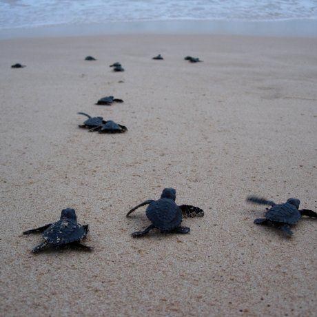 Aan de zuidkust van Sri Lanka leggen zeeschildpadden eieren. Om te voorkomen dat deze eieren gestolen/opgegeten/verhandeld worden, worden ze door kleine particuliere opvangcentra verzameld totdat ze uitkomen. Daarna worden ze 2 dagen gehouden totdat ze net iets sterker zijn en worden dan de vrijheid teruggegeven. Deze babies leggen hun eerste stapjes naar de zee af.  In de buurt van @weeshuissri