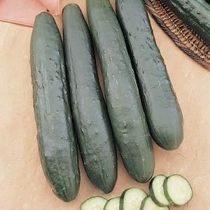 Burpless Supreme Cucumber