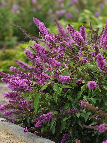 """buddleia flutterby 'tutti-fruitti' 24""""-30"""" blooms summer to early fall"""