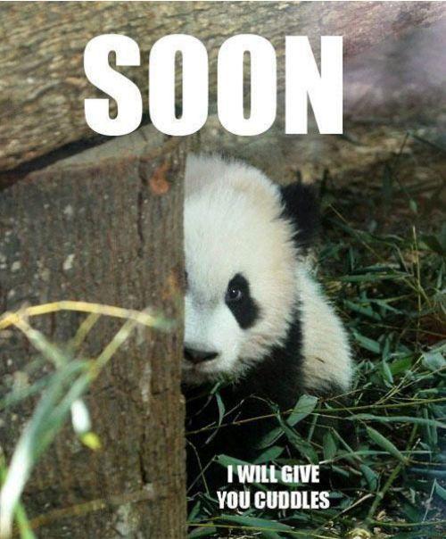Sneaky cuddling panda