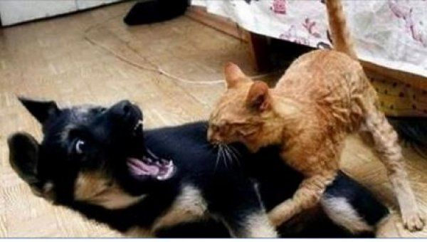Grote honden zien er vaak stoer en bazig uit, maar dat blijkt niet uit de video hieronder. Honden zijn een stuk sterker en groter dan katten. Toch zijn honden vaak bang als er een kat in de buurt komt. Waarom zijn honden eigenlijk zo bang voor katten? Volgens mij heeft niemand het antwoord op deze …