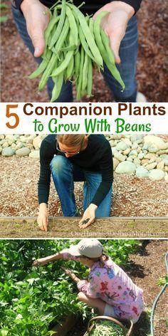 5 Companion Plants to Grow With Beans, Companion Planting, What Can I Grow With Beans, Beans, Gardening