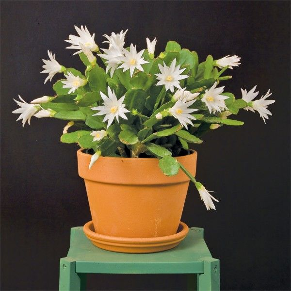 White Easter Cactus 'Sirius' p.p. (Rhipsalidopsis hybrid)