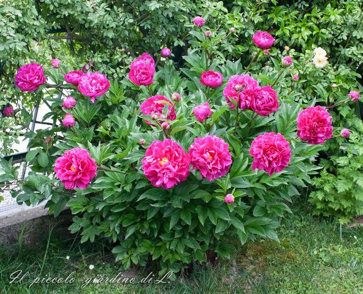 Il piccolo giardino di L.: Gallina vecchia fa buon brodo: la mia peonia erbac...