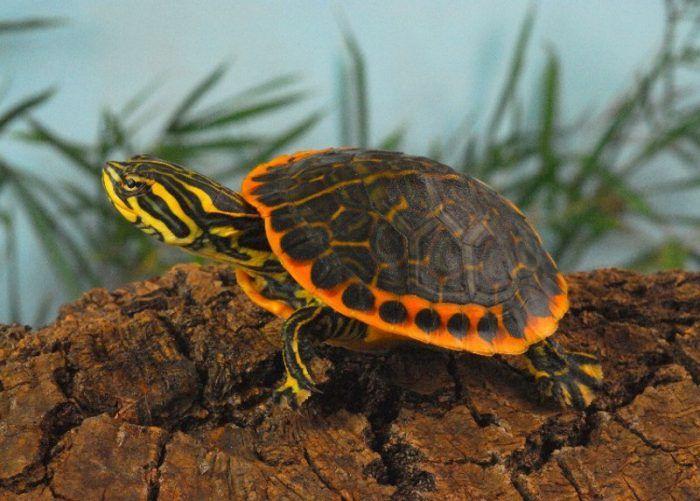 tartarughe-dacqua-riproduzione