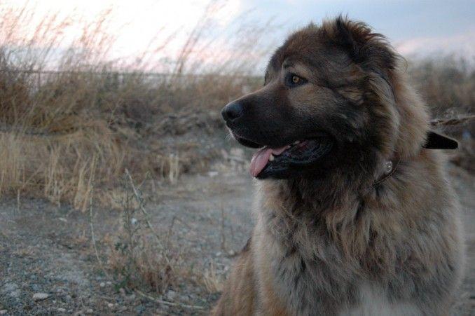 Raza Pastor Ruso Ovcharka |  Como se menciono anteriormente, son perros de carácter dominante, por lo cual es sumamente necesario educarlo con mano firme, cariño y paciencia, desde el principio se debe dejar bien el claro que el dueño es el que manda.
