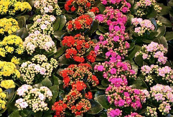 Kalanchoe blossfeldiana - Flower of fortune