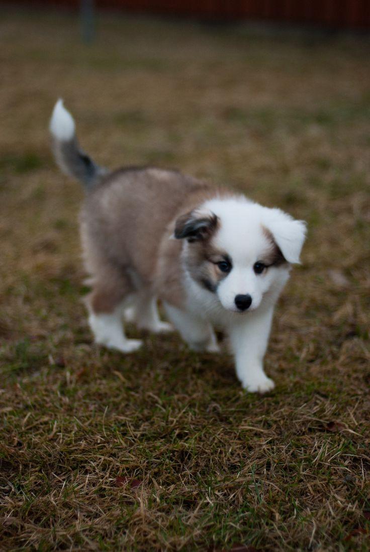 Icelandic Sheepdog puppy -