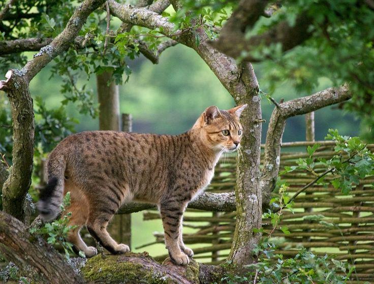 +++Aksi Kucing Baka Somalia dan Mau Mesir