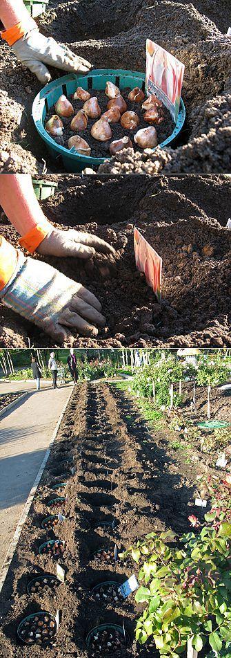 ПОСАДКА ТЮЛЬПАНОВ   сад-огород   Постила