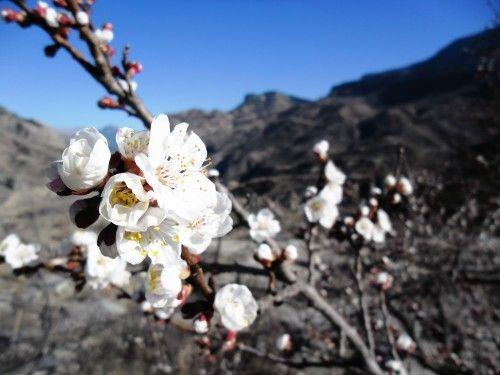Flowering apricot tree. Dagestan