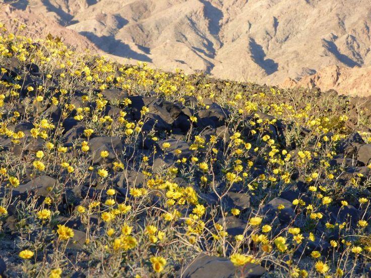 Anche nel luogo più caldo della Terra sono arrivati i fiori. Questo mese la Death Valley si è colorata di giallo e di rosa: un evento