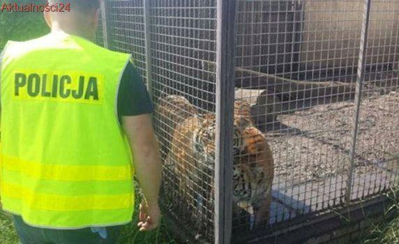 Hodowali tygrysy, pumy, lamparty i rysie. Policja: w złych warunkach i bez zezwoleń