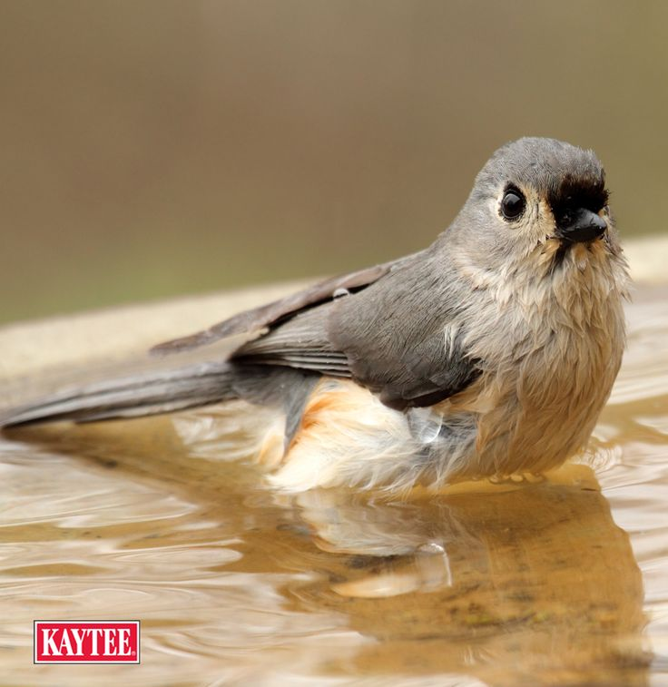 During winter, it is important for birds to find a reliable water source. Offer running, heated water for the backyard birds so they won't be searching beyond frozen bird baths