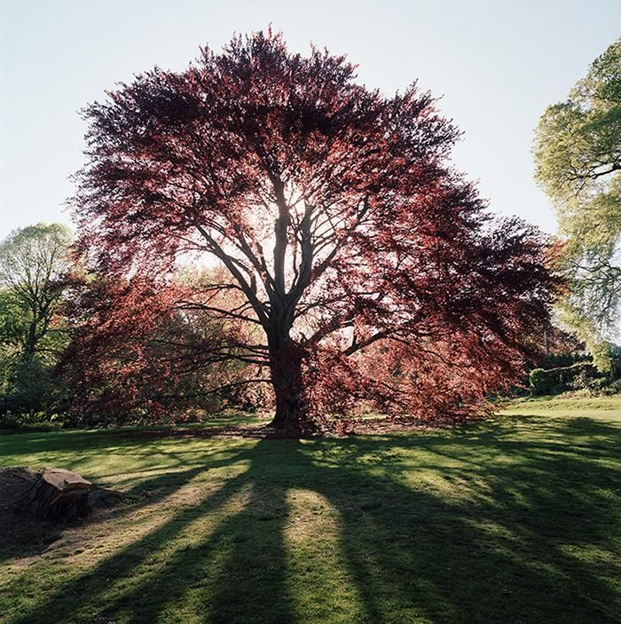 Benjamin Swett , New York City of Trees: A century-old copper beach with an auburn canopy stands at the top of the lawn at Wave Hill, a tiny gem of a public garden in the Bronx