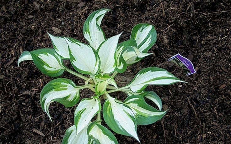 Loyalist Hosta. Love these bright leaves for a dark, shady garden area: Bright Leaves, Shady Gardens, Gardens Inspiration, Dark, Landscape Gardens, Loyalist Hosta, Gardens Stuff, Hosta Gardens, Gardens Area