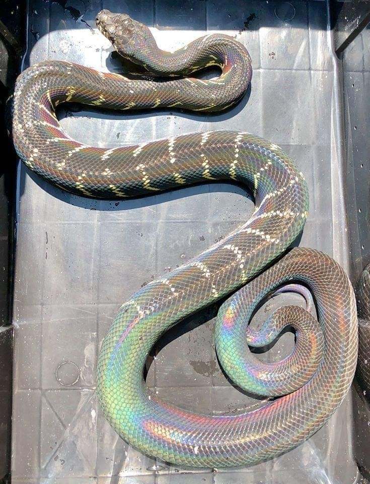 Adult Male Boeleni Out In The Sun Beautiful Rainbow Snake