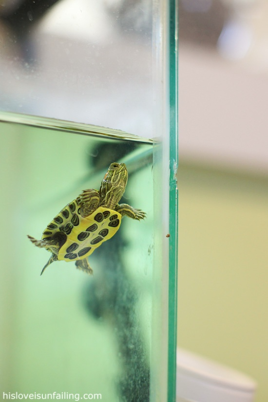"""A baby red-eared slider.  Our turtle """"Rosie"""" is a little smaller than this one. We have had her for 6 months now. She is a joy to watch."""