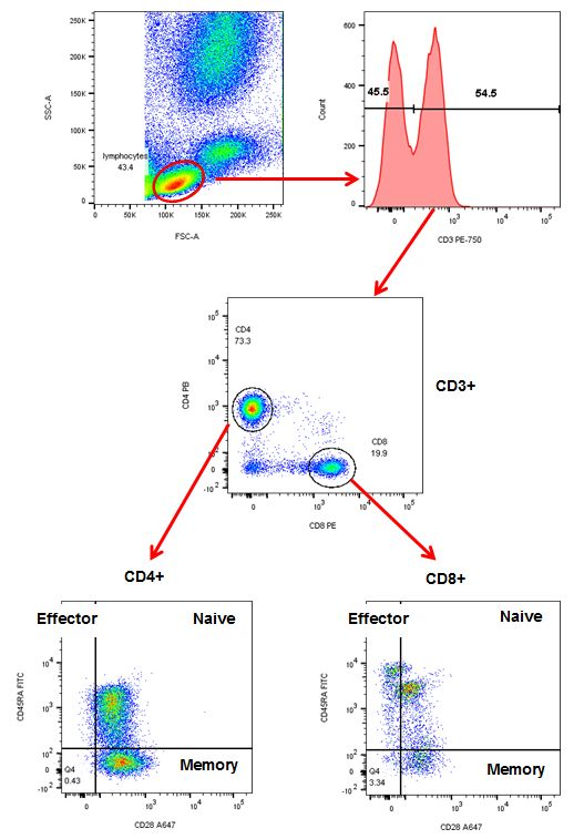 Sequential gating to identify specific T subsets. Red cell lysed whole blood was stained with CD3 (MCA463P750), CD4 (MCA1267PB), CD8 (MCA1226PE), CD28 (MCA709A647) and CD45RA (MCA88F) in the presence of propidium iodide. The gating strategy is shown by the red arrows.