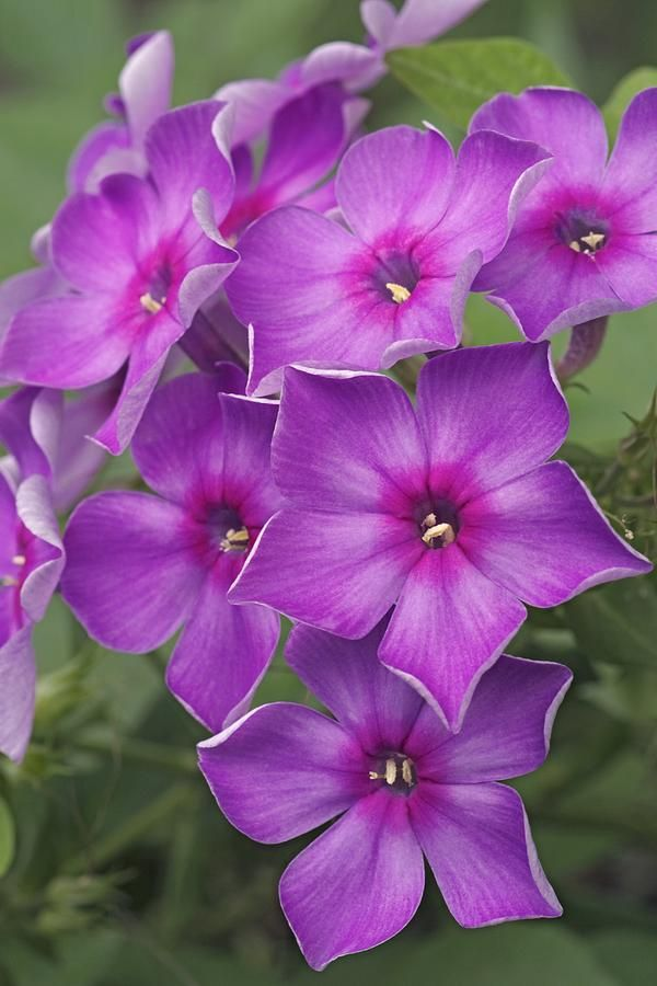 ~~Phlox Paniculata by Dr. Nick Kurzenko~~
