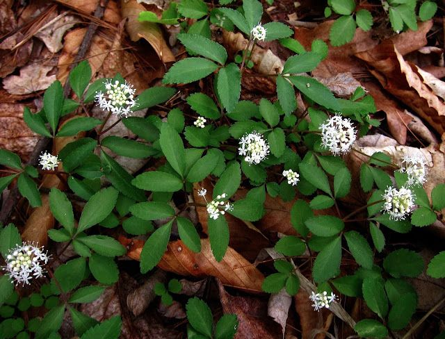 How to Identify Wild Ginseng | Wintergreen, on the other hand, is one of the most persistent plants ...