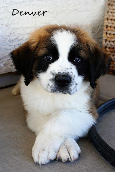 St. Bernard Puppy, I am a fan of large breed dogs