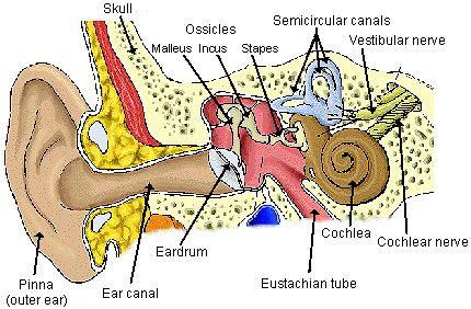 Diagram of the Ear #vestibular #auditory