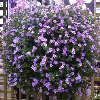 Bacopa Abunda Colossal Blue -Good ground cover, excellent trailer. Essential for hanging baskets.