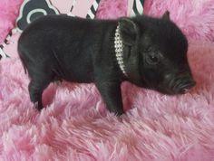 teacup pigs for sale/teacup pig/ultra nano pigs/piglets for sale/teacup piggies/pocket pigs/dandee pigs