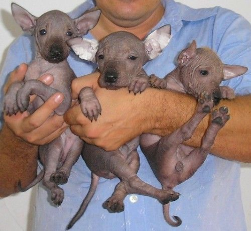 Mexican hairless puppies! I didn't even know these existed! - I've always wanted one of these - for more from Mexico, visit www.mainlymexican... #Mexico #Mexican #xolo