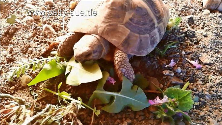 Eine ausgewogene Ernährung ist wichtig für Landschildkröten. Mehr über Futterpflanzen erfahrt Ihr unter: www.patty-sue.de