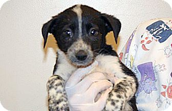 Wildomar, CA - Border Collie Mix. Meet Bashful, a puppy for adoption. http://www.adoptapet.com/pet/16989583-wildomar-california-border-collie-mix