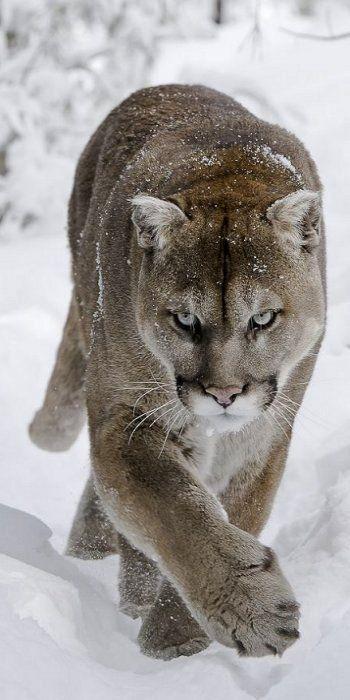 Cougar (Puma concolor)