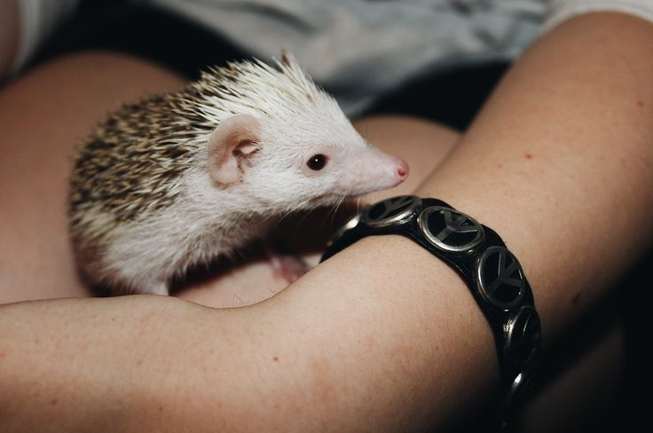 Valentine the baby hedgehog