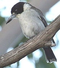 Grey butcher bird - my favorite song bird that sings in the shrubs outside my windows.