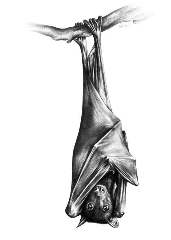 Fruit Bat pencil drawing ORIGINAL 8 x 11 inch 21 x by ArtbyKerli