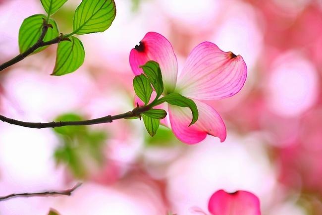 *ハナミズキ   落葉高木   開花期4月〜5月  剪定  5月後半〜7月前半   11月後半〜3月   ヤマボウシの仲間 花が先に出て、後から葉が出る。   夏の西日で葉を落とす事がある。