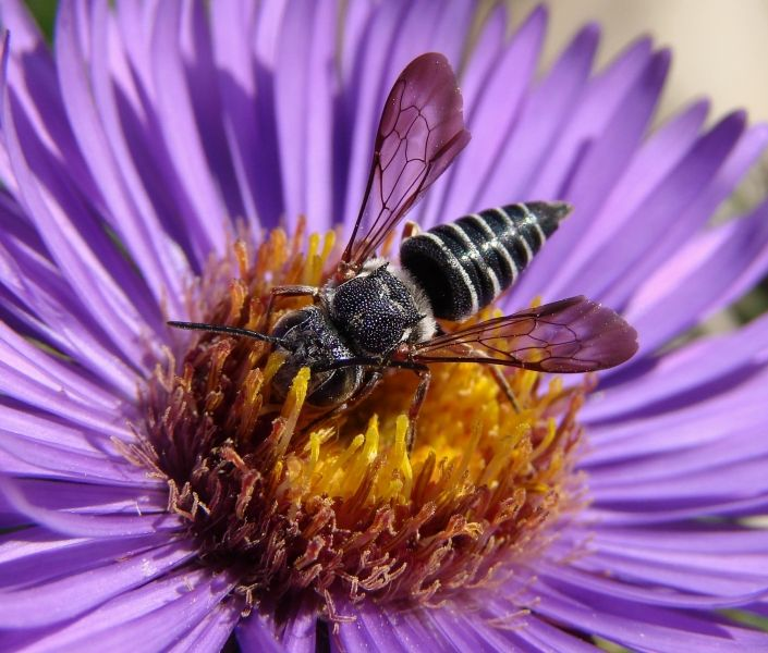 Leaf-cutter cuckoo bees are medium-sized with a tapering triangular abdomen. They are parasites of leaf-cutter bees. Photo by: J. Ascher