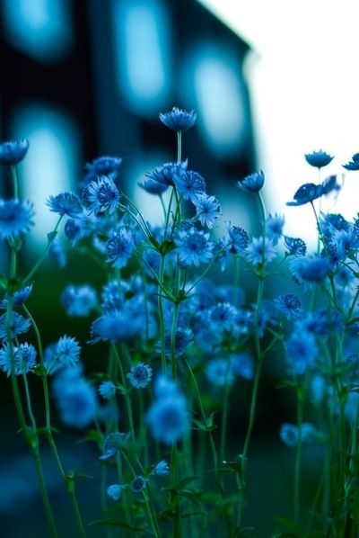 Blue and only blue. #flowers #plant #nature