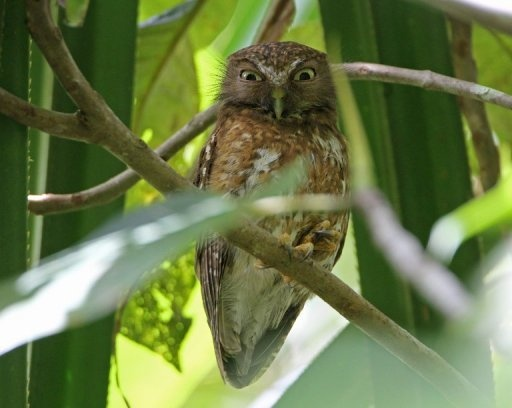 A photo taken in February and released by the Biodiversity Conservation Programme (BCP) shows one of the ten new species of owl -- Ninox-Reyi -- found in Tawi-Tawi, on the southern island of Mindanao. Scientists and birdwatchers discovered the ten new owl species in the Philippines, using advanced recording equipment that can distinguish between their hoots. (AFP Photo/Robert Hutchinson)