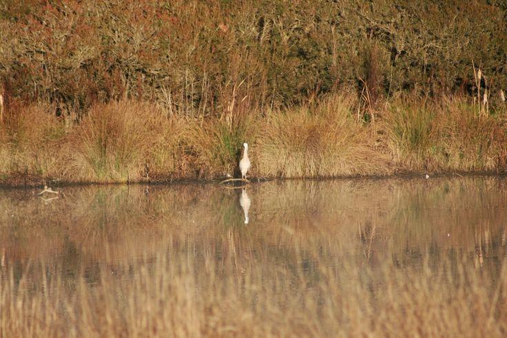CM Simpson: Writer: Australian Birds: White-Faced Heron (Egretta novae...