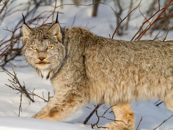 A Canadian lynx is seen in the Ogilvie Mountains (Yukon Territory, Canada) last winter. Dory followed fresh wolf tracks, north of Tombstone, before he found this lynx enjoying the sunset. He spent three hours with the feline, watching him resting, stretching, and hunting snowshoe hares in the snow, Photograph by Nicolas Dory.