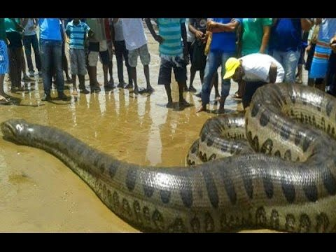 Biggest snake in the world - amazing python snake