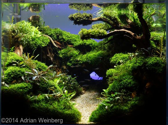 2014 aga aquascaping contest entry 606 200l aquascape for Aquarium 200l