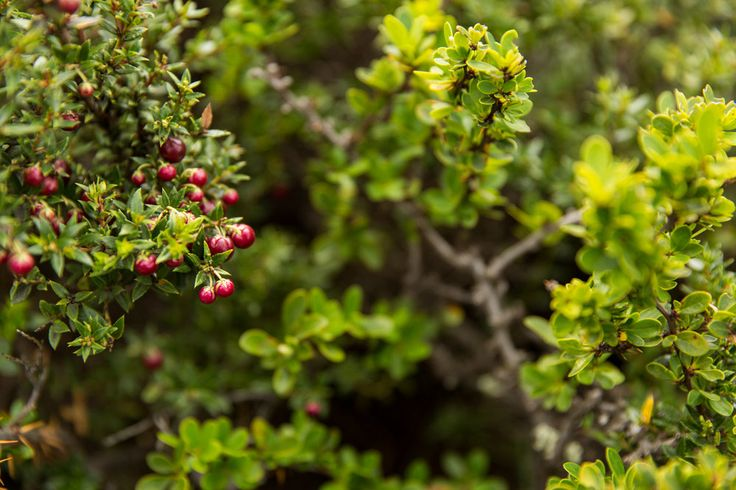 Calafate berries, which grow like wildfire throughout Patagonia and make one of the regions most famous drinks, the Calafate Sour