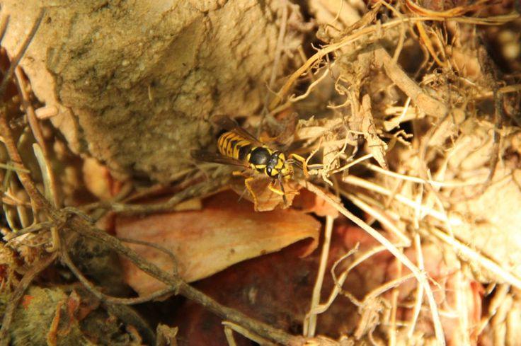 """Was tun Menschen nicht alles gegen """"lästige Wespen""""? Schlagen, Nester zerstören, Fallen aufstellen. Nur: Davon hilft in Wirklichkeit nichts!"""